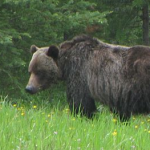 Stig Björne: Grizzlybjörnens konflikter med människan
